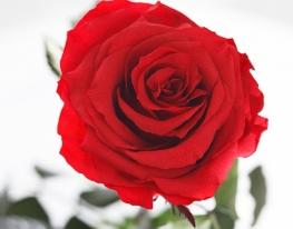 Долгосвежая роза Алый Рубин в подарочной упаковке фото