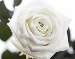 Долгосвежая роза Белый Бриллиант в подарочной упаковке фото