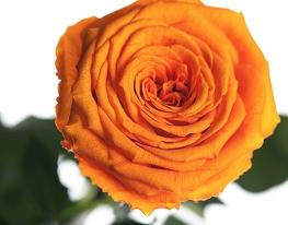 Долгосвежая роза Оранжевый Цитрин в подарочной упаковке фото