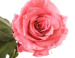Долгосвежая роза Розовый Кварц в подарочной упаковке фото