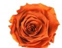 Долгосвежая роза - бутон Огненный янтарь фото