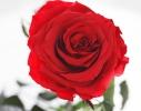 купить Долгосвежая роза Алый Рубин в подарочной упаковке, обложка на автодокументы, цена, отзывы.