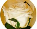 Три долгосвежие розы Белый Бриллиант в подарочной упаковке фото 2