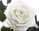 Три долгосвежие розы Белый Бриллиант в подарочной упаковке фото 1
