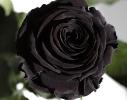 Три долгосвежие розы Черный Бриллиант в подарочной упаковке фото 1