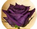 Долгосвежая роза Королевская в подарочной упаковке фото 2