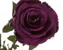 Долгосвежая роза Королевская в подарочной упаковке фото 3