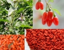 Целебные ягоды Годжи для похудения фото 2
