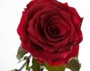 Три долгосвежих розы Багровый Гранат в подарочной упаковке фото 1