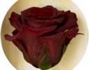 Три долгосвежих розы Багровый Гранат в подарочной упаковке фото 2