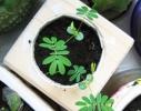 Набор для выращивания Экокуб Мимоза стыдливая фото 1