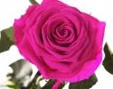Долгосвежая роза Малиновый Родолит в подарочной упаковке фото