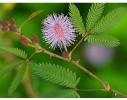 Набор для выращивания Экокуб Мимоза стыдливая фото 2