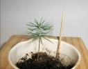 Набор для выращивания Экокуб Голубая Ель фото 3