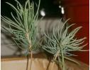 Набор для выращивания Экокуб Голубая Ель фото 6