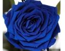 Долгосвежая роза - бутон Синий Сапфир фото