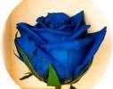 Долгосвежая роза Синий Сапфир в подарочной упаковке фото 2