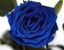 Три долгосвежих розы Синий Сапфир в подарочной упаковке фото 1
