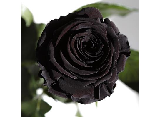 Долгосвежая роза Черный Бриллиант в подарочной упаковке фото